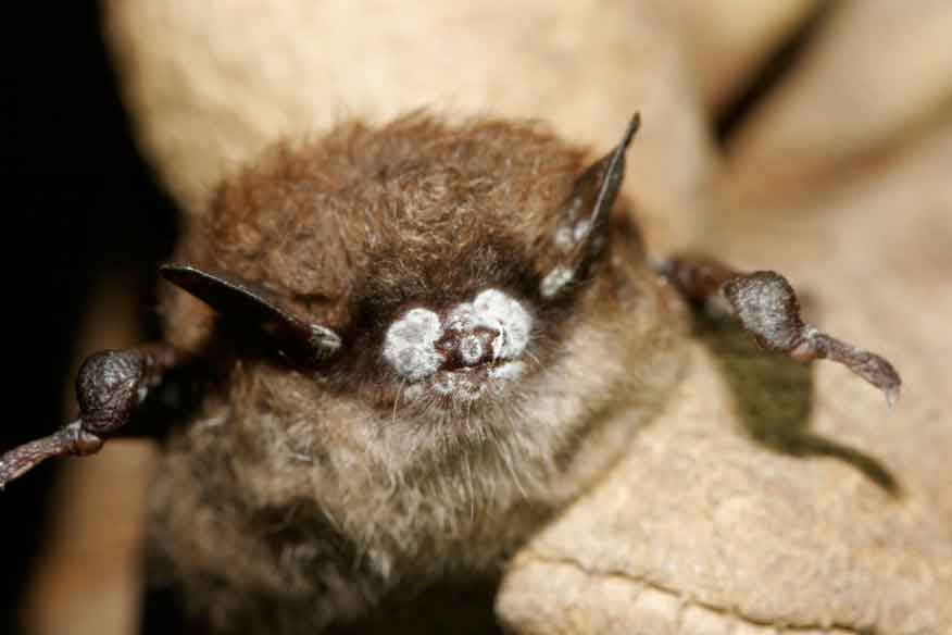 Bat infected with WNS